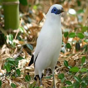 burung-jalak-bali-di-bali-bird-park