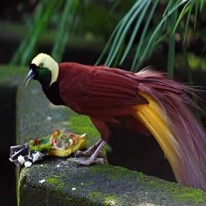 burung-paradise-di-bali-bird-park